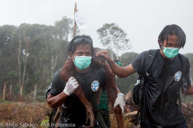 orangutan to safety
