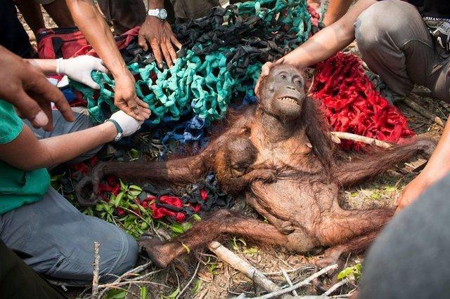 A gaunt mother orangutan