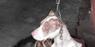 Dog Kept On Such A Short Chain She Could Never Rest Her Head Is Finally Rescued And The After Pics Will Bring You Joy