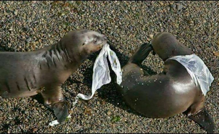 Sea Lions trapped in plastics