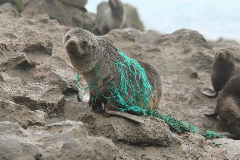 Seal trapped in a fishing net