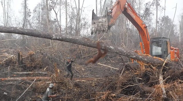 Heartbreaking Footage of Orangutan Trying to Fight off Excavator that is Destroying his Home