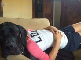 People Are Posting Hilarious Photos Of Their Great Danes, And It's Crazy How Large They Are