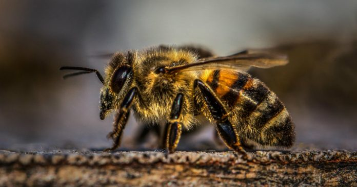 Its Official Rusty Patched Bumblebee Declared Endangered