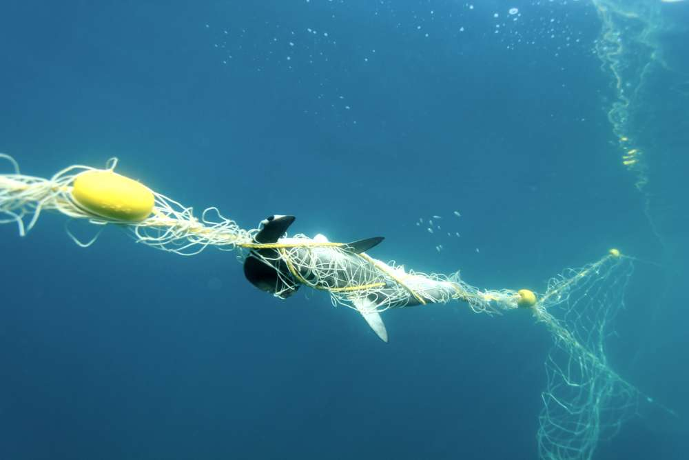Large fishing nets are not discerning about what they catch. Nicole McLachlan