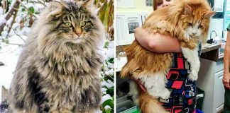 29 Photos Explaining Why the Internet Went Crazy Over Maine Coons