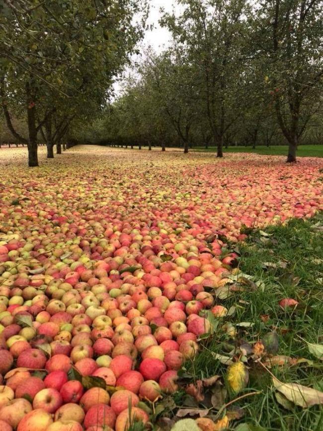 #Hurricane #Ophelia #flooded #apples #Ireland