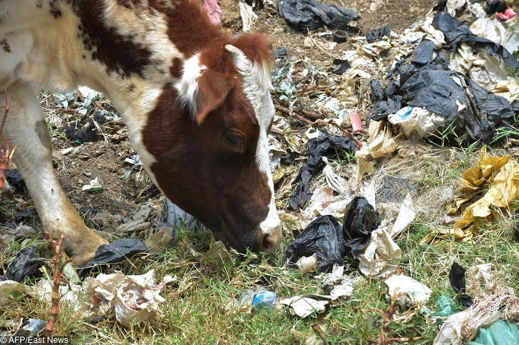 A cow grazes next to plastic bags at the Ngong town dumping site, 30 kilometres southwest of Nairobi, on August 24, 2017. A ban on plastic bags came into force in Kenya