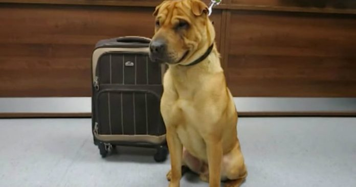 Sad Dog Is Found Alone At Train Station Tied To A Suitcase Full Of His Favorite Belongings