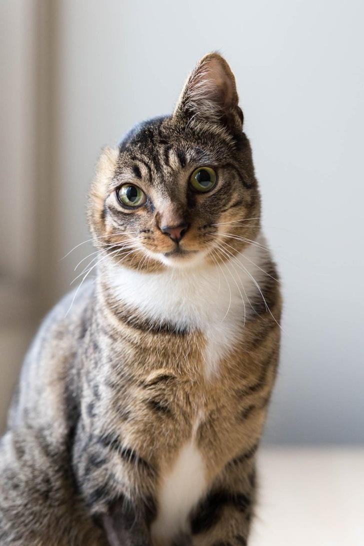 earless cat