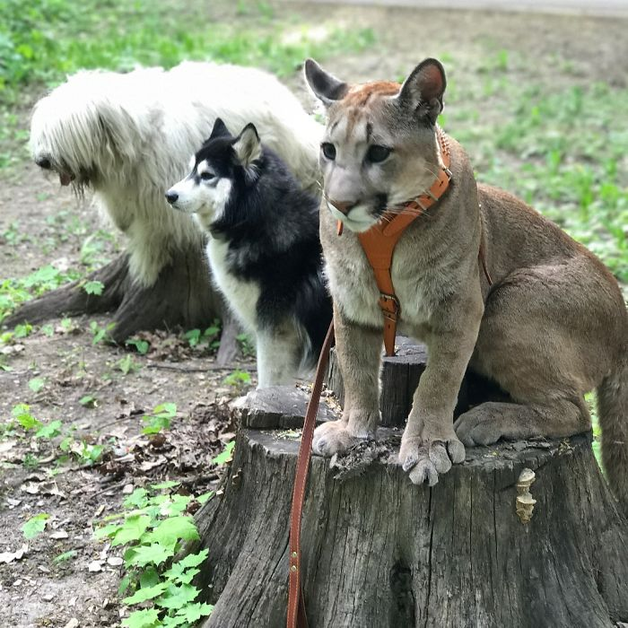 puma with dog training