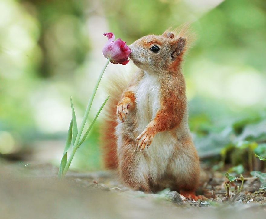 Squirrel & Tulip