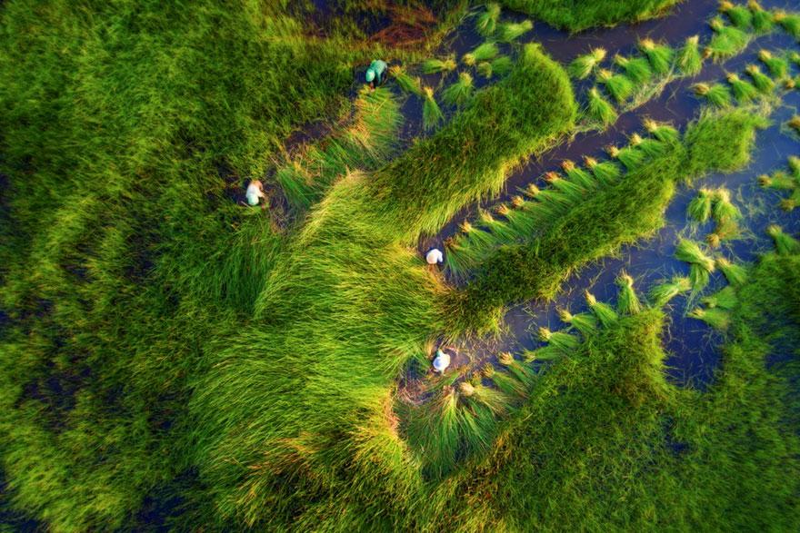 Harvesting Grass Paddy Field