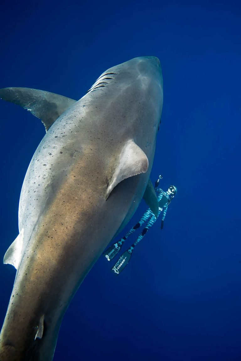 diver and The great white shark