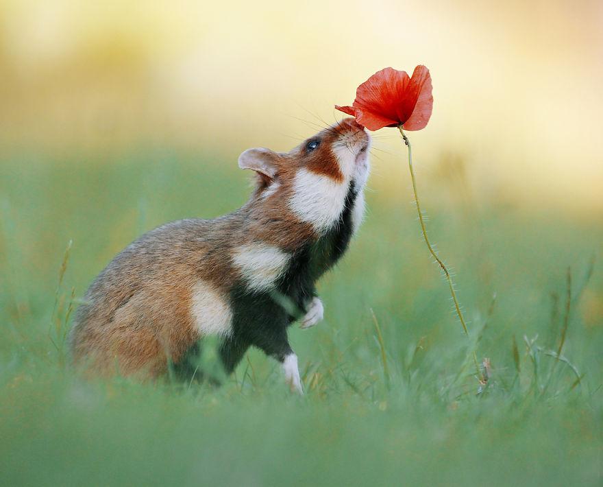 Hamster & Poppy