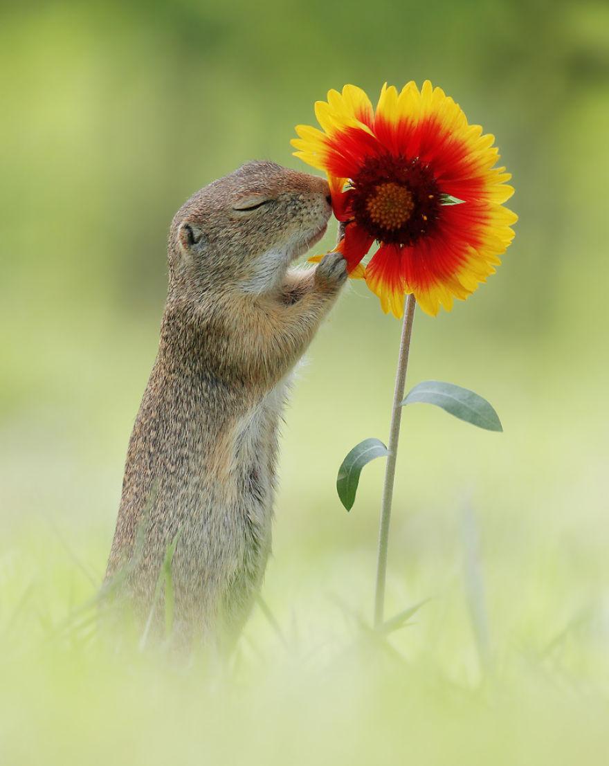 Chipmunk with a flower