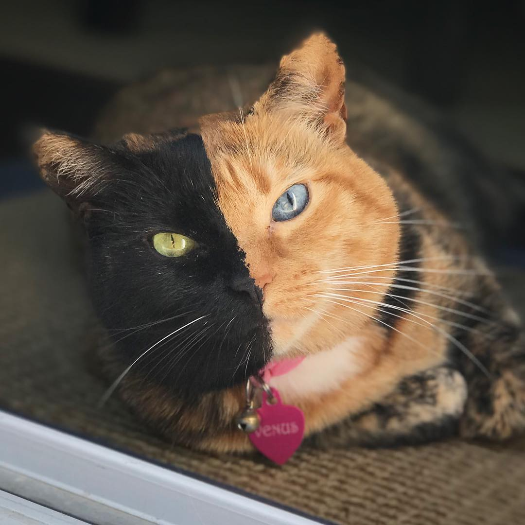 two face cat