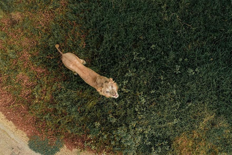 Lion Vs Drone