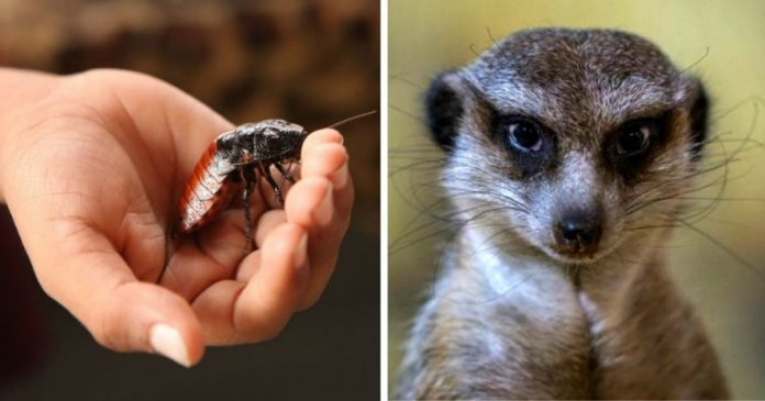 This Zoo Will Name a Cockroach After Your Ex and Feed It to a Meerkat on Valentine's Day