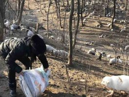 Activists Saved 170 Foxes From A Chinese Fur Farm And Sheltered Them At A Buddhist Monastery