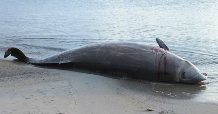 We Now Know Why Naval Sonar Leads To Mass Whale Strandings