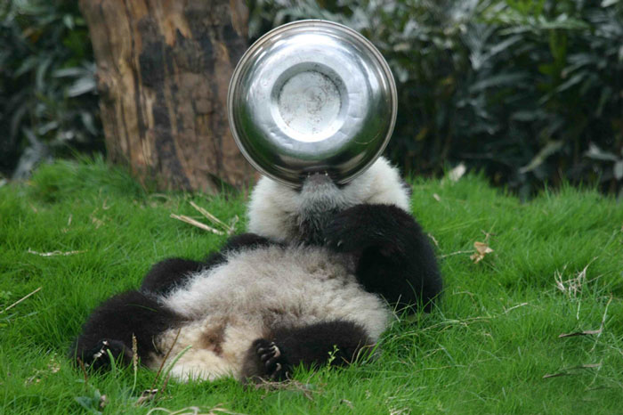 Panda with food ball