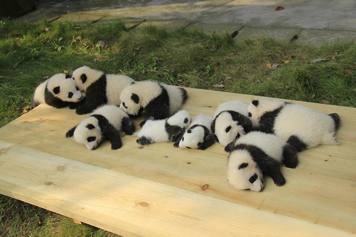 Sleeping panda buddys