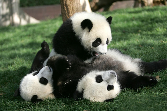Mother panda and two babies