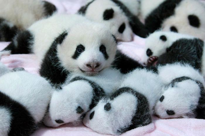 Lot of pandas
