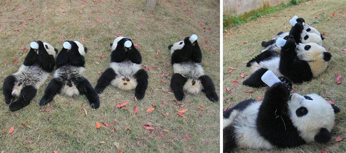 Panda Baby drinking milk