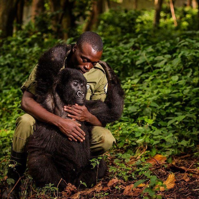National Park Ranger Matthieu Shamavu embraces Matabishi, an orphaned juvenile mountain gorilla