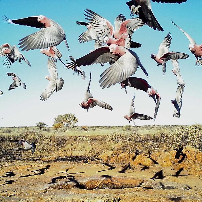 Galahs, a species of cockatoo
