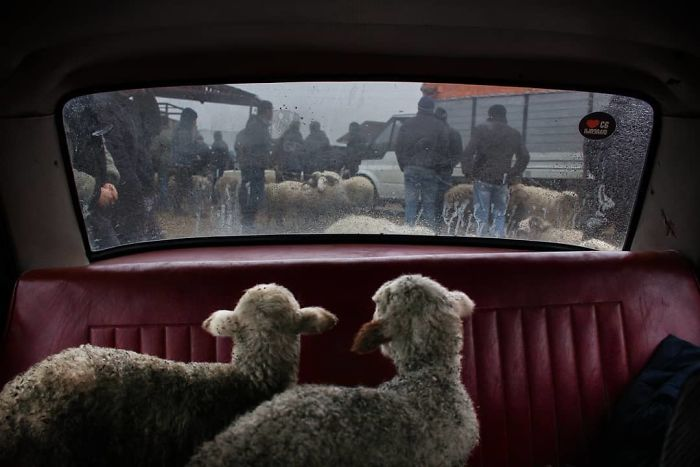 A pair of lambs stare out a car window