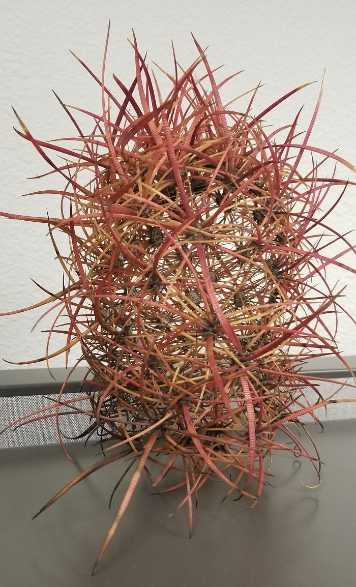 Dead Cactus Decomposed