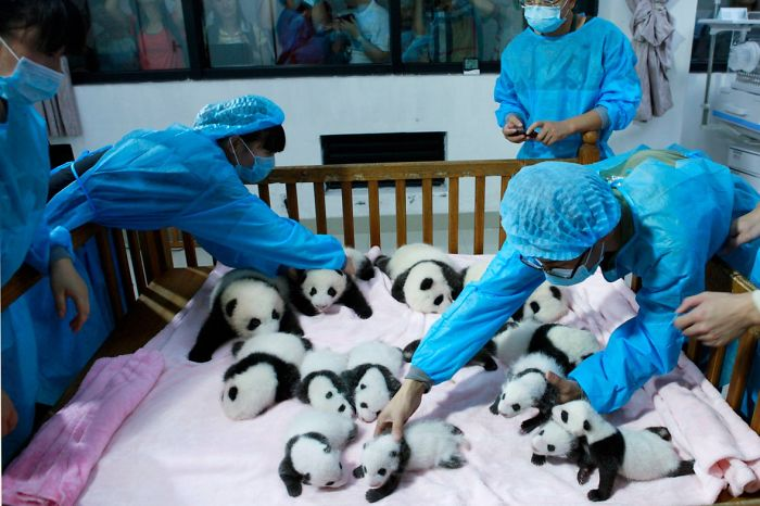 Panda baby's with care takers