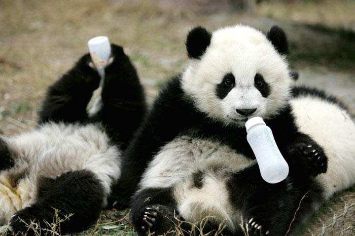 Drinking milk panda