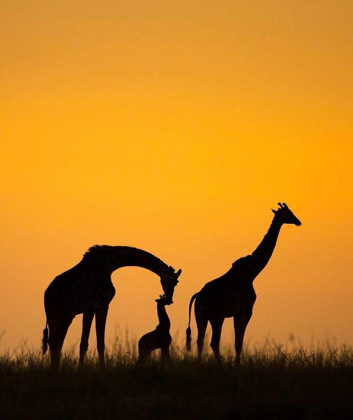 A giraffe family at sunrise