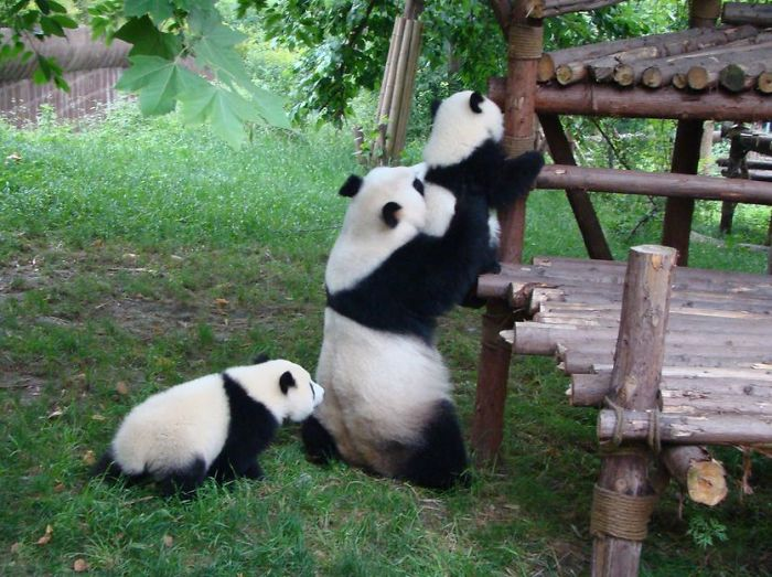 mother panda and two baby pandas