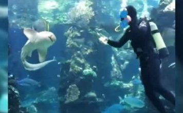 Shark swims up to diver to interrupt his work and it quickly becomes clear what he wants