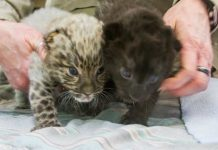 Meet The Incredibly Rare (And Adorable) Leopard Cubs Just Born At A Connecticut Zoo