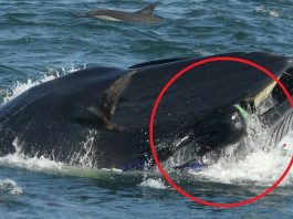Whale swallows diver and spits him out again