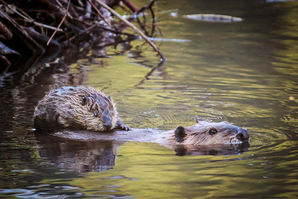 Mother And Baby Beavers