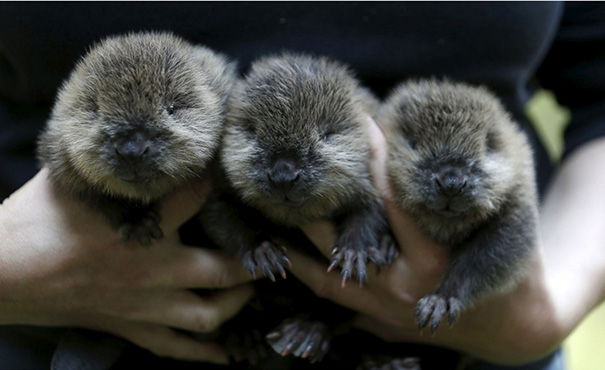 3 Adorable Baby Beavers
