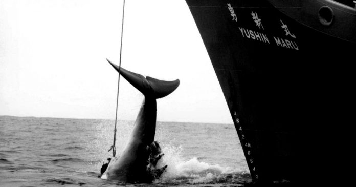 Japan to Allow Commercial Whaling for the First Time in 30 Years