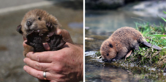 30 Adorable Baby Beavers To Celebrate International Beaver Day