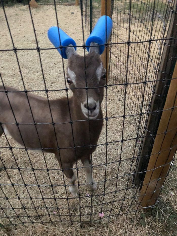 Safety Goats