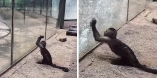 Zoo's Visitor Sees Monkey Sharpening A Rock, Later It Uses It To Shatter Its Glass Enclosure