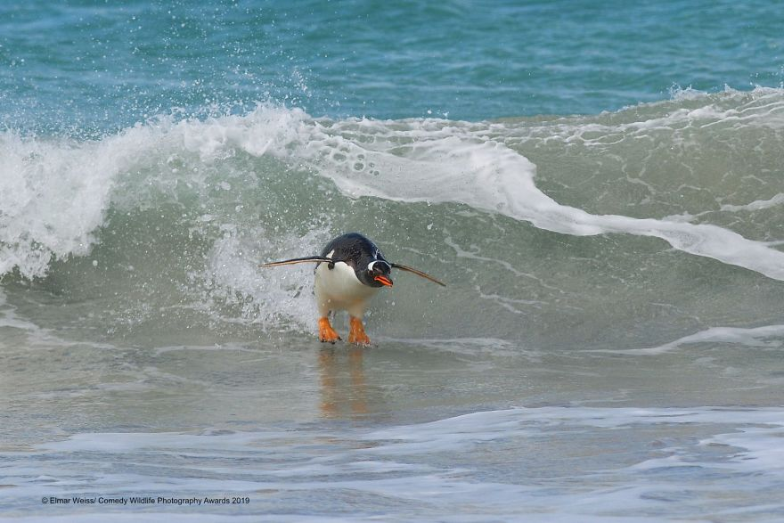 penguin in sea