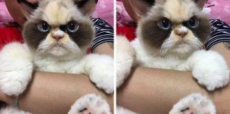 fluffy new grumpy cat