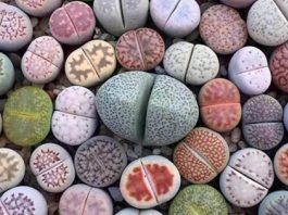 These Plants Have Evolved To Look Like Stones To Avoid Predators